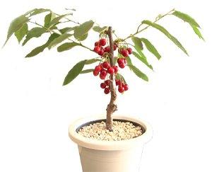 画像1: 山形のさくらんぼ鉢植え チェリーポット (紅秀峰・ハウス栽培)